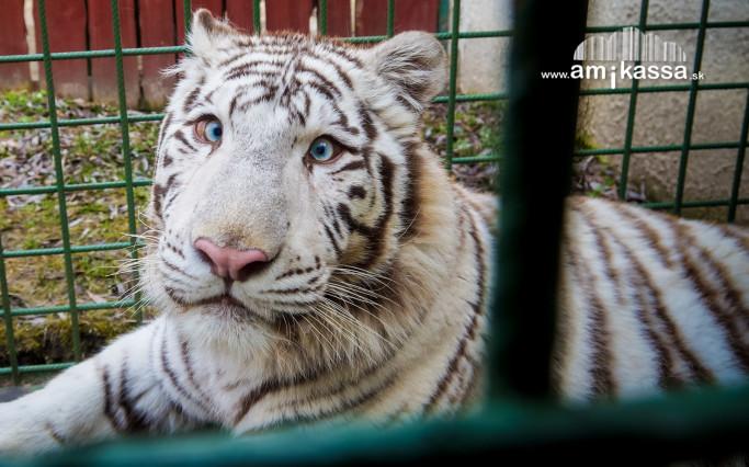 zoo fehér tigris